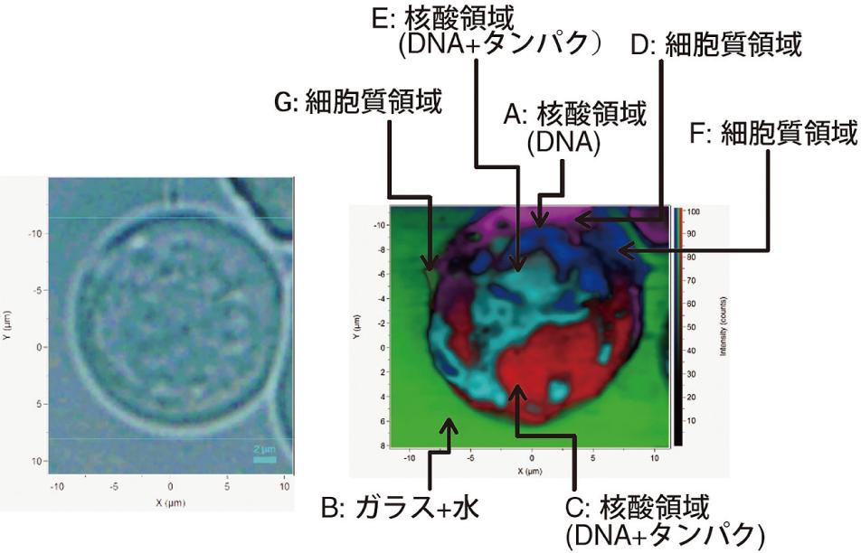 図5 ミエローマ細胞のラマンイメージ